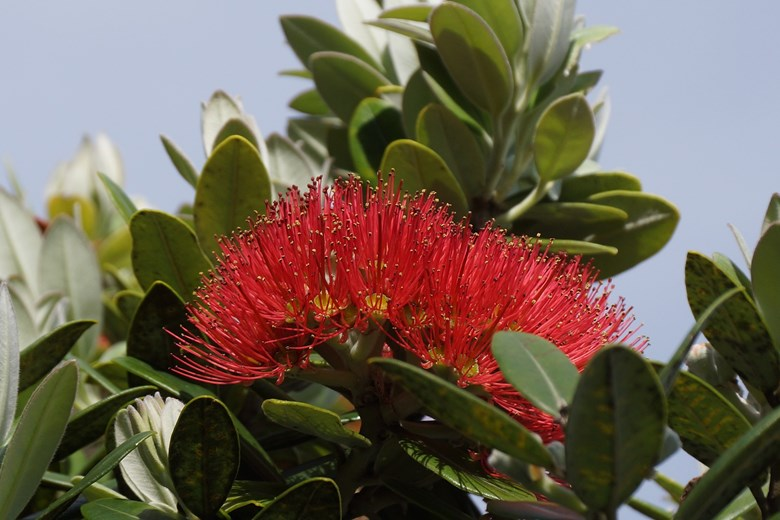 image of a pohutukawa tree in flower